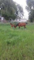 foals for sale and project horses for sale