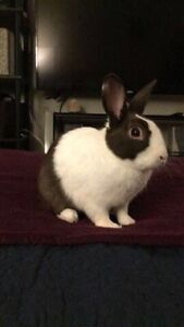 Male bunny, white& dark brown (notfixed)