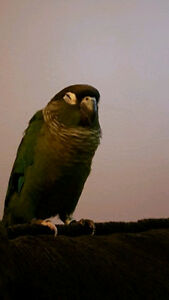 11wk old Green Cheek conure, sweetest guy ever!