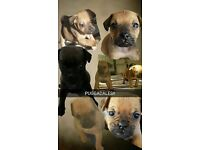 BEAUTIFUL 4x PUGGADALES FOR SALE (pug x patterdale)