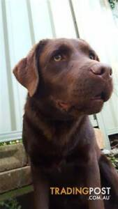 Pure Bred Chocolate Labrador - 1 year old