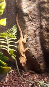 Female Crested Gecko with Tank
