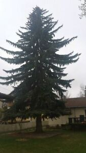 Black Out Tree Removal 226-700-1484 London Ontario image 3
