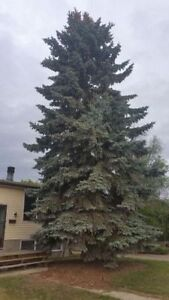 Black Out Tree Removal 226-700-1484 London Ontario image 1