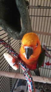 Beautiful Jenday conure need a new home