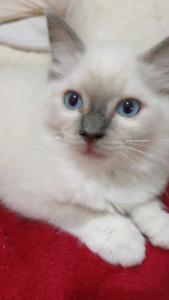 Beautiful ragdoll kitten for sale