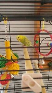 ONE YEAR OLD BUDGIE AND CAGE!!!!!!!!!!! Cambridge Kitchener Area image 2