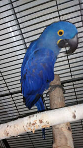 Breeder Hyacinth Macaw Male (NOT PET)