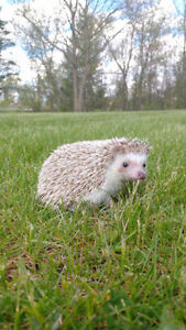 Hedgehog with Supplies