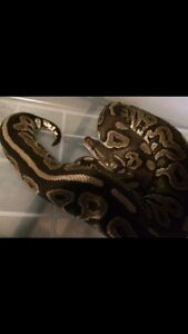 Female cinnamon ball python