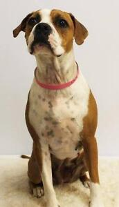 "Young Female Dog - Boxer: ""Betty"""