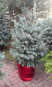 Potted Norway and Blue Spruce Trees
