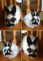 Fixed Male Dwarf Rabbit Bunny looking for a new home