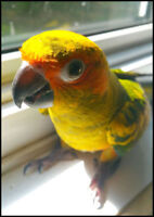 Sun Conure - Conure Soleil $650 with EVERYTHING INCLUDED FOR HER