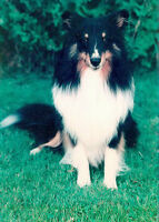 WANTED- Male Sheltie  Puppy
