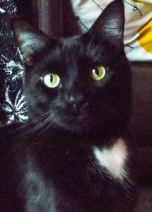 Adult Male  - Domestic Short Hair-Domestic Short Hair (Black)