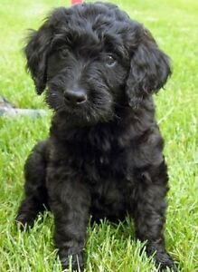 'Black' F1 Goldendoodle, Wavy Coat, Male Puppy