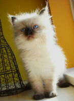 Beautiful Himalayan Female kitten
