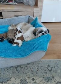 Beautiful Imperial Shih-Tzu puppies ** ALL BOOKED**
