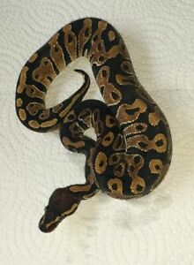 Snakes for Sale! updated! new ones added!