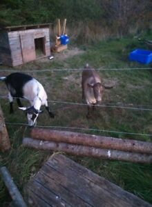 Rehoming Goats
