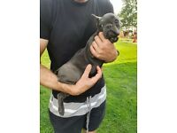 2 French Bulldogs (4 months) for sale