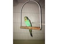 Baby Male budgie