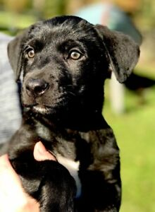Paws for Love dog rescue has a 8 week lab mix for adoption