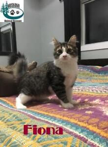 "Baby Female Cat - Domestic Short Hair: ""Fiona - Loves Humans!"""