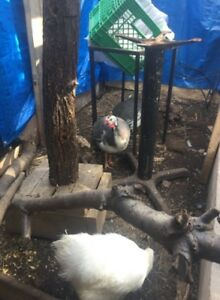 Free young super friendly sweet BUFF ORP hens to a loving farm