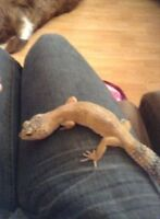 Femelle gecko