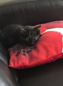 15 week old female kitten