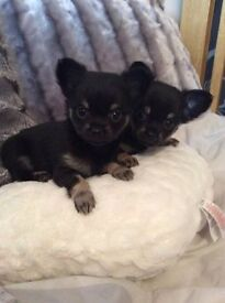 Beautiful Pure Bred Pedigree IKC Long Haired Chihuahua Puppies. VERY small.