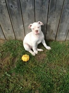 ❤️❤️BULLDOG Pups(OldeEnglish)IOEBAreg,price reduced❤️❤️❤️ London Ontario image 6