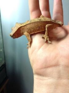 PRICED TO SELL-Crested Gecko