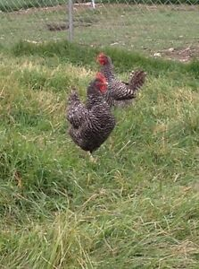 Bard rock hens 2 1/2 years old
