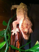 Male and Female Crested Gecko breeding pair