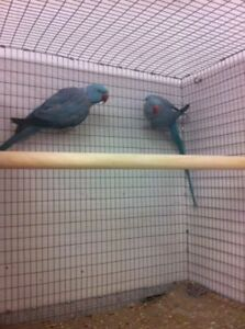 Young Pair BLUE INDIAN RINGNECK