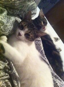 ***two female kittens to good home *** Cornwall Ontario image 4