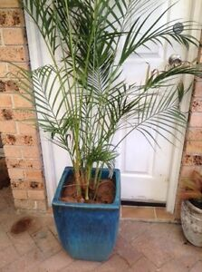 Golden cane palm in pot Hassall Grove Blacktown Area Preview