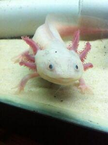 Axolotl à vendre