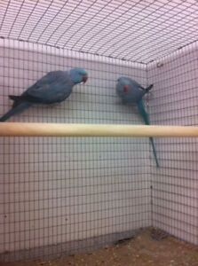 Young pair of BLUE INDIAN RINGNECK