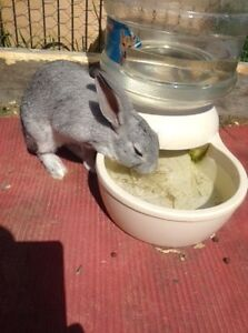 New Zealand cross bunny looking for his forever home