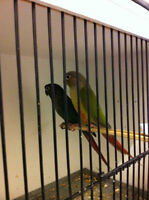 Proven breeding pairs of CONURES (NOT TAME)