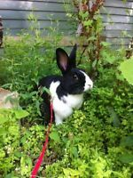 Affectionate male bunny for adoption