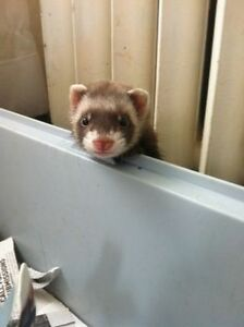 Baby Ferrets For Sale! Only Four Females Left!