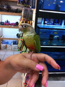 baby cinnamon conure parrot friendly handfed with MEDIUM CAGE