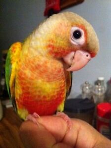 baby conure (super tamed)