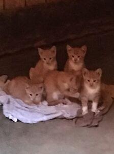 Beautiful orange tabby kittens