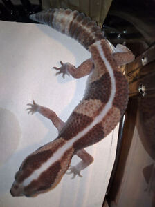 Fat Tail Gecko (Striped/Banded)